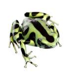 Grüner und schwarzer Gift-Pfeil-Frosch - Dendrobates aur Stockfotos