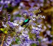 Grüner und schwarzer Kolibri Stockfoto