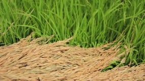 Grüner und trockener Reis bewirtschaften stockfotos