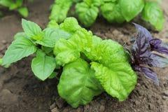 Grüner und violetter Basilikum auf einem Gemüsegarten Lizenzfreie Stockfotografie