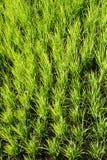 Grüner ungeschälter Reis stockbild