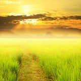 Grüner ungeschälter Reis im Feld- und Himmelsonnenuntergang Stockbilder