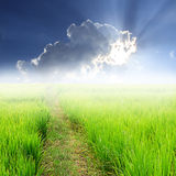 Grüner ungeschälter Reis im Sonnenlicht des Feldes und des blauen Himmels Lizenzfreies Stockbild