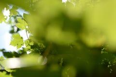 Grüner Unschärfe-Hintergrund Acers Campestre Lizenzfreies Stockbild