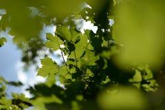 Grüner Unschärfe-Hintergrund Acers Campestre Stockfoto