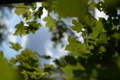 Grüner Unschärfe-Hintergrund Acers Campestre Stockbild
