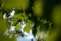Grüner Unschärfe-Hintergrund Acers Campestre Lizenzfreie Stockbilder
