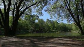 Grüner verzweigter Baumfall über dem See Schöner ruhiger langer Hintergrund Ente säubert Federn auf dem Ufer stock video footage