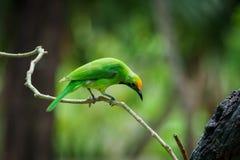 Grüner Vogel auf Blatt lizenzfreies stockbild