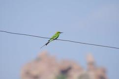Grüner Vogel, der auf dem Draht, Indien sitzt Stockfotos