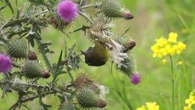 Grüner Vogel, der von einer Blume isst stock video