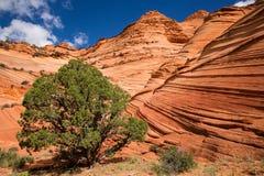 Grüner Wacholderbuschbaum unter orange Sandsteinwellen Lizenzfreies Stockbild