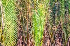 Grüner Wald der Nipapalme (Nypa fruticans) mit Hintergrund des blauen Himmels Stockfotos