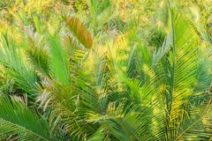 Grüner Wald der Nipapalme (Nypa fruticans) mit Hintergrund des blauen Himmels Lizenzfreie Stockfotografie