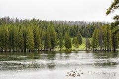 Grüner Wald durch den See in der Reflexion im Wasser Enten, die im See schwimmen stockbild