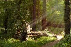 Grüner Wald mit dem Stamm gefallen und durch Sonnenstrahlen belichtet lizenzfreie stockbilder