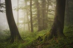 Grüner Wald mit Moos auf Baumwurzeln Stockbilder