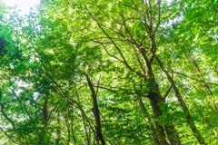 Grüner Wald mit Strahl des Lichtes Stockbild