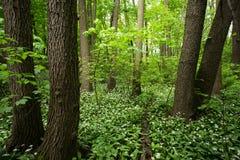 Grüner Wald mit wildem Knoblauch Lizenzfreies Stockfoto