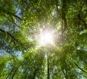 Grüner Wald. Sun-Leuchte durch Treetops. Stockbild