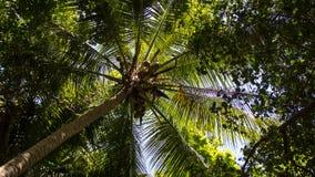 Grüner Waldhoher Kokosnussbaum Stockbild