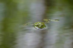 Grüner Wasserfrosch Lizenzfreie Stockfotos