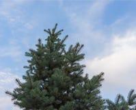 Grüner Weihnachtsbaum ohne Spielwaren auf einem Hintergrund des blauen Himmels Stockfoto