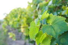 Grüner Weinstock des Morgens lizenzfreie stockbilder