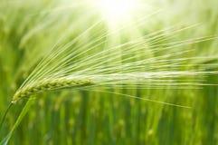 Grüner Weizen Lizenzfreies Stockfoto