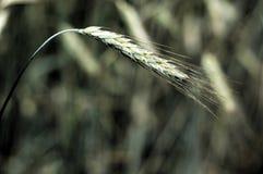Grüner Weizen Stockfotos