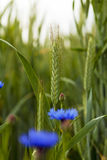 Grüner Weizen Lizenzfreie Stockfotos