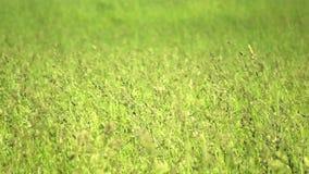 Grüner Weizen Lizenzfreies Stockbild