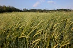 Grüner Weizen stockbild