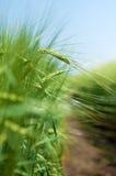 Grüner Weizen archiviert Lizenzfreies Stockfoto