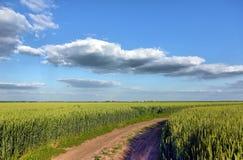 Grüner Weizen auf blauem Himmel Stockfoto