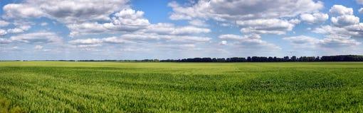 Grüner Weizen auf blauem Himmel Lizenzfreie Stockbilder
