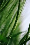 Grüner Weizen auf dem bebauten Gebiet als abstraktem landwirtschaftlichem backgro Lizenzfreies Stockbild
