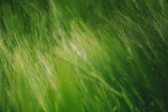Grüner Weizen auf dem bebauten Gebiet als abstraktem landwirtschaftlichem backgro Stockfoto