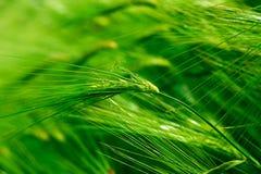 Grüner Weizen auf dem Feld Stockbild