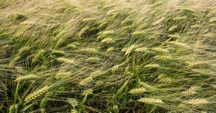 Grüner Weizen auf dem Feld Stockfotografie