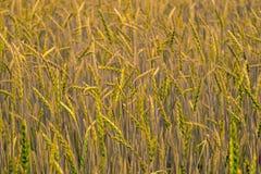 Grüner Weizen auf dem Feld Lizenzfreies Stockfoto