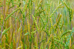 Grüner Weizen auf dem Feld Stockfotos
