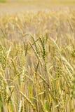 Grüner Weizen auf dem Feld Stockbilder