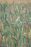 Grüner Weizen auf dem Feld Lizenzfreie Stockfotos