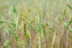 Grüner Weizen auf dem Feld Lizenzfreies Stockbild