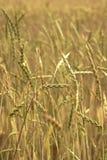 Grüner Weizen auf dem Feld Stockfoto
