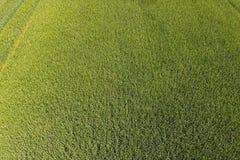 Grüner Weizen auf dem Gebiet, Draufsicht mit einem Brummen Beschaffenheit von whea lizenzfreie stockbilder