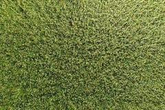 Grüner Weizen auf dem Gebiet, Draufsicht mit einem Brummen Beschaffenheit von whea lizenzfreies stockbild