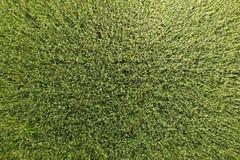 Grüner Weizen auf dem Gebiet, Draufsicht mit einem Brummen Beschaffenheit von whea stockfotografie
