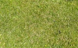 Grüner Weizen auf einer Kornfeld-Grasbeschaffenheit Lizenzfreies Stockbild